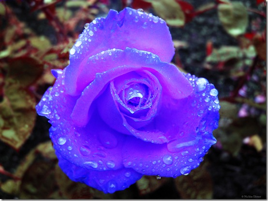 Blue Rose by Ehmer thumb 30 Beautiful Photoshoped Roses That Are Made By Romantic Designers