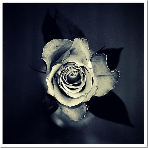 Rose____by_XipnosS