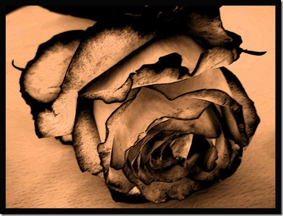 Rose by Haziness thumb 30 Beautiful Photoshoped Roses That Are Made By Romantic Designers