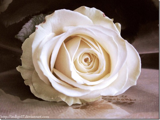 Rose by Indigo17 thumb 30 Beautiful Photoshoped Roses That Are Made By Romantic Designers