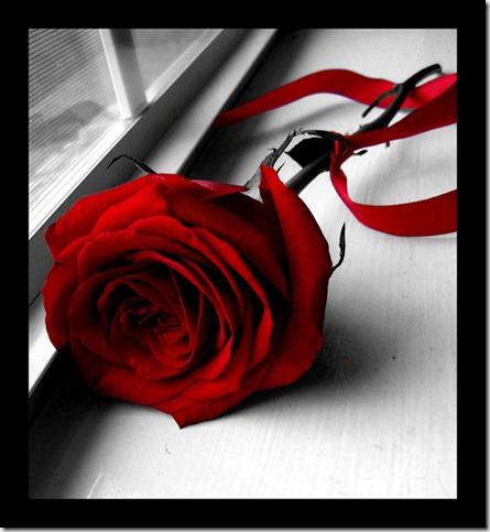 Rose_by_shutter_bug664