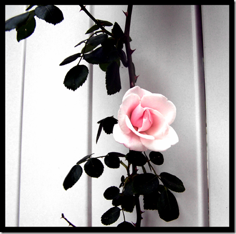 The Rose by lovelybat thumb 30 Beautiful Photoshoped Roses That Are Made By Romantic Designers