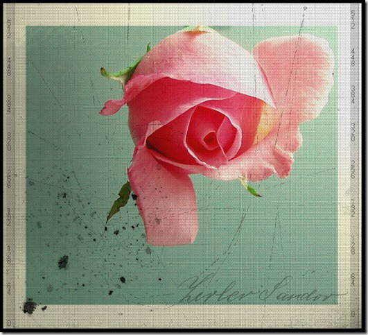 a rose by Suzie006 thumb 30 Beautiful Photoshoped Roses That Are Made By Romantic Designers