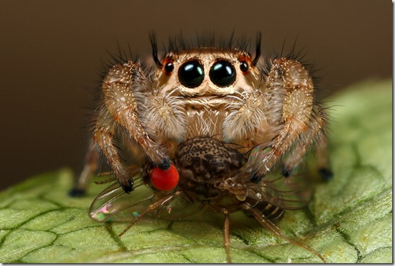 jumping spiders lunch by macrojunkie thumb 80 Extraordinary Examples Of Macro Photography
