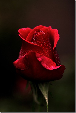 portrait of a rose by CrisisCorps thumb 30 Beautiful Photoshoped Roses That Are Made By Romantic Designers