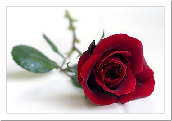 rose by Ruth Yang thumb 30 Beautiful Photoshoped Roses That Are Made By Romantic Designers