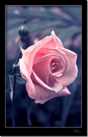 rose_by_klefer