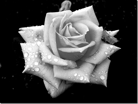 the rose by nofearinlove thumb 30 Beautiful Photoshoped Roses That Are Made By Romantic Designers