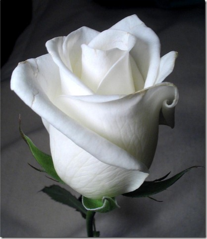 white rose by twofuzzysumos thumb 30 Beautiful Photoshoped Roses That Are Made By Romantic Designers