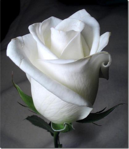 white_rose_by_twofuzzysumos