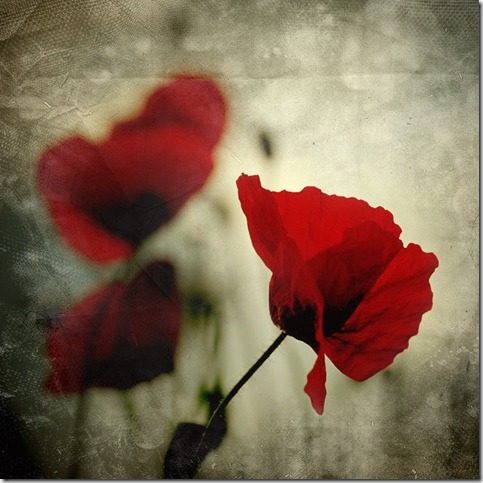 CCXXIII    summer memories by behherit thumb 50 Beautiful Examples Of Poppy Photography
