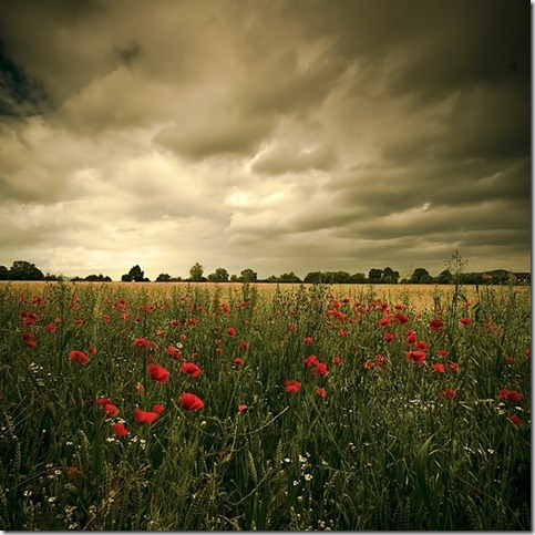 Dark Poppies by dingodave thumb 50 Beautiful Examples Of Poppy Photography