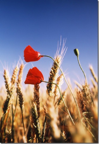 Field of gold by oriontrail thumb 50 Beautiful Examples Of Poppy Photography