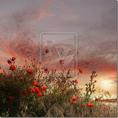 Flower field by Methevas thumb 50 Beautiful Examples Of Poppy Photography