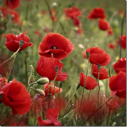 I hope you fine it by TheLastOfDays thumb 50 Beautiful Examples Of Poppy Photography