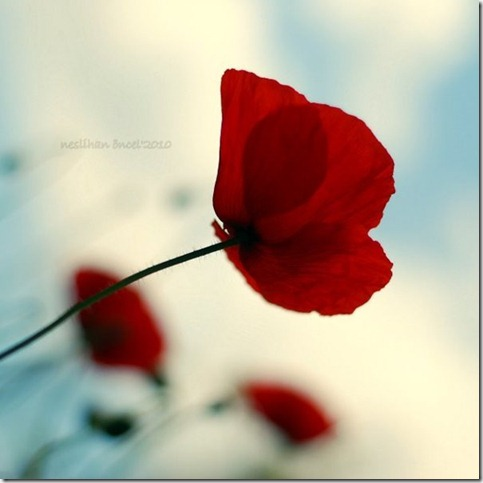 Little Red Riding Hood   by neslihans thumb 50 Beautiful Examples Of Poppy Photography