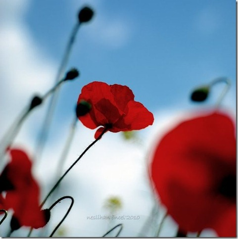 Little ones   by neslihans thumb 50 Beautiful Examples Of Poppy Photography