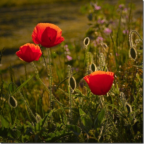 Maci by D334nn4 thumb 50 Beautiful Examples Of Poppy Photography