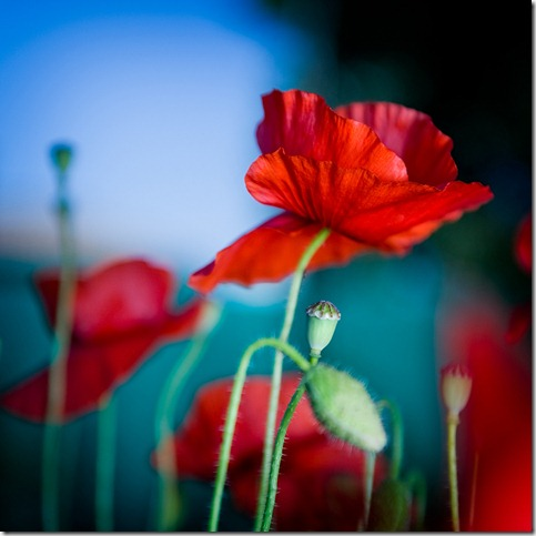 Morning poppies by marcopolo17 thumb 50 Beautiful Examples Of Poppy Photography