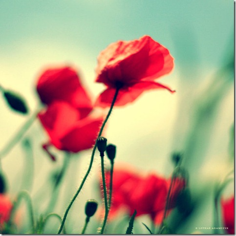 Passion by DREAMCA7CHER thumb 50 Beautiful Examples Of Poppy Photography