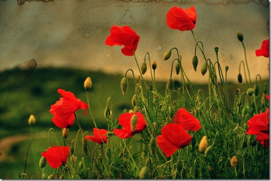 Poppies aquarel by ralucsernatoni thumb 50 Beautiful Examples Of Poppy Photography