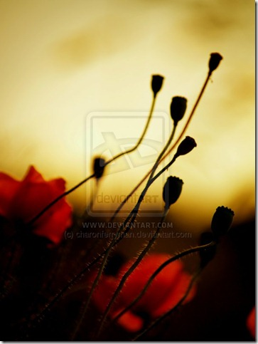 Poppies by charonferryman thumb 50 Beautiful Examples Of Poppy Photography