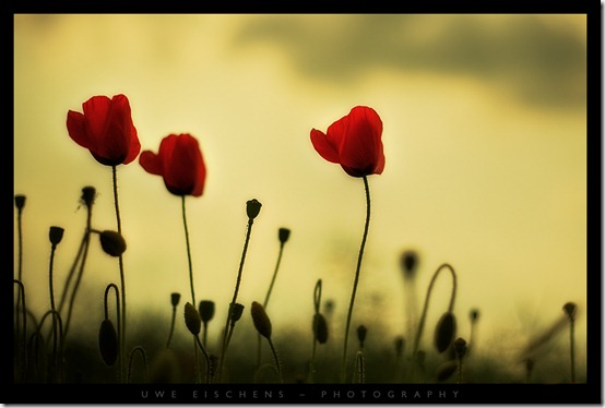 Poppy by Crossie thumb 50 Beautiful Examples Of Poppy Photography