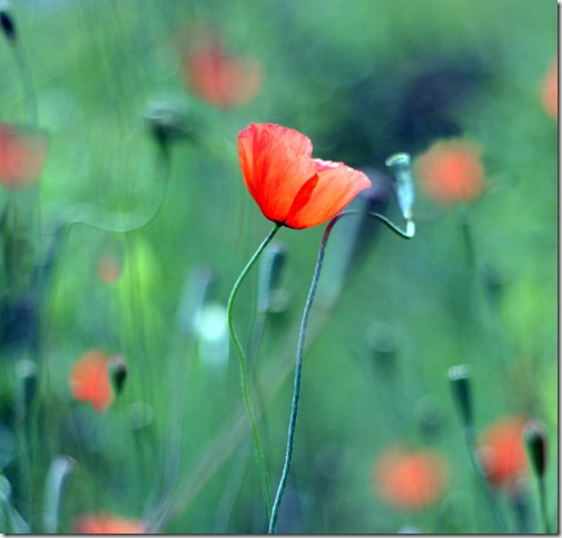 Presente by ketoo thumb 50 Beautiful Examples Of Poppy Photography