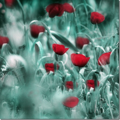 Spring Observations by terataki2005 thumb 50 Beautiful Examples Of Poppy Photography