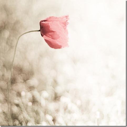 a14ce64f44e9bd7624b9c4621a5d2963 thumb 50 Beautiful Examples Of Poppy Photography