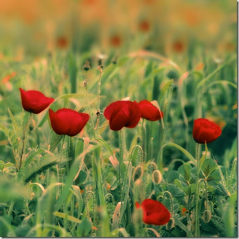 a sea of lies by terataki2005 thumb 50 Beautiful Examples Of Poppy Photography