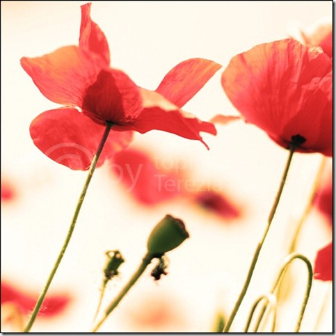 b4b5b39da68a23da3798f21d23a23b55 thumb 50 Beautiful Examples Of Poppy Photography