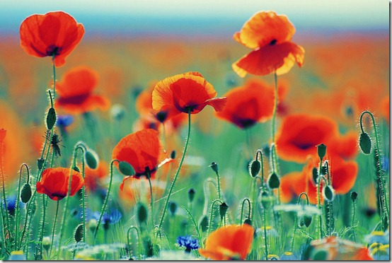 dabbf037888a991c94c81e10e4938506 thumb 50 Beautiful Examples Of Poppy Photography