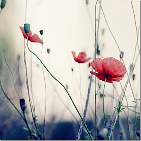 fa2cb8a6b7e8729a212ac469a3d3c506 thumb 50 Beautiful Examples Of Poppy Photography