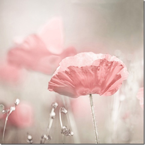 fcf3c968ec68cfe1d26f65fa70933902 thumb 50 Beautiful Examples Of Poppy Photography