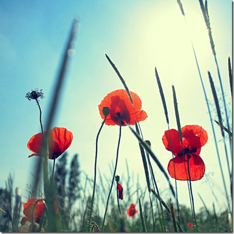 lo sai che i papaveri  by smokedval thumb 50 Beautiful Examples Of Poppy Photography