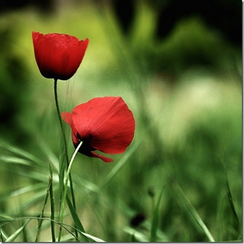 love by foart thumb 50 Beautiful Examples Of Poppy Photography