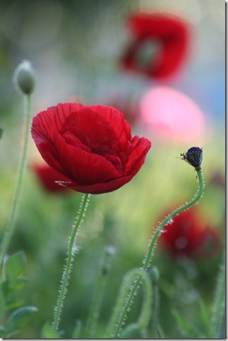 poppies by potter58 thumb 50 Beautiful Examples Of Poppy Photography
