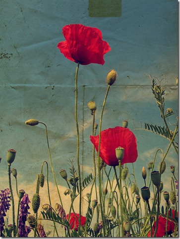 poppies by valyeszter thumb 50 Beautiful Examples Of Poppy Photography