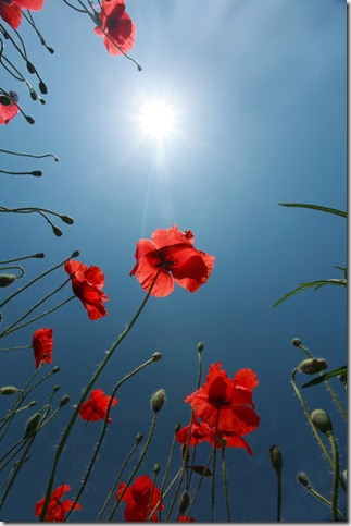 sun__blue_sky__red_poppies_by_Floriandra