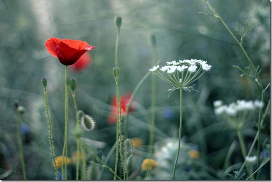 the last by fragilesimplicity thumb 50 Beautiful Examples Of Poppy Photography