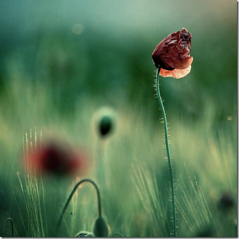 vanitas by shiek0r thumb 50 Beautiful Examples Of Poppy Photography