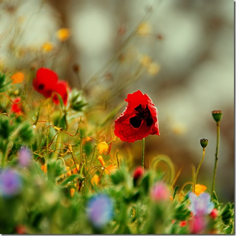 50 Beautiful Examples Of Poppy Photography