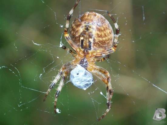 Spider and Net by IndianRain 550x412 31 Amazing Examples Of Spider Net Photography