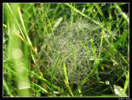 Spider_net_and_dew_drops___