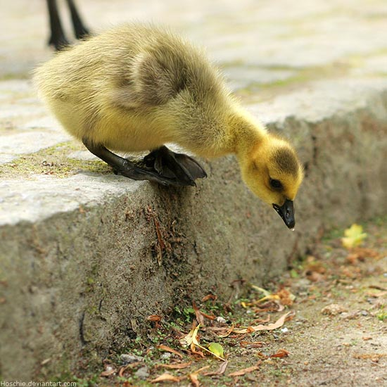 14 be gutsy gosling by hoschie 20 Stunning Action Photos of Animals