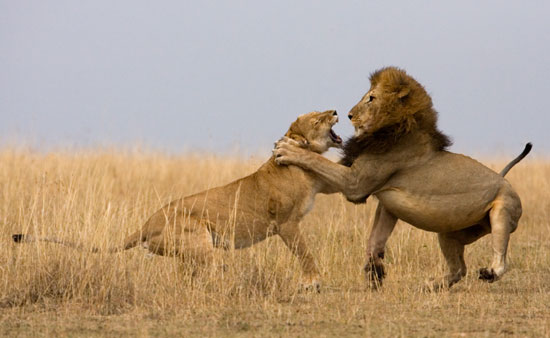 21 Lions fighting 20 Stunning Action Photos of Animals